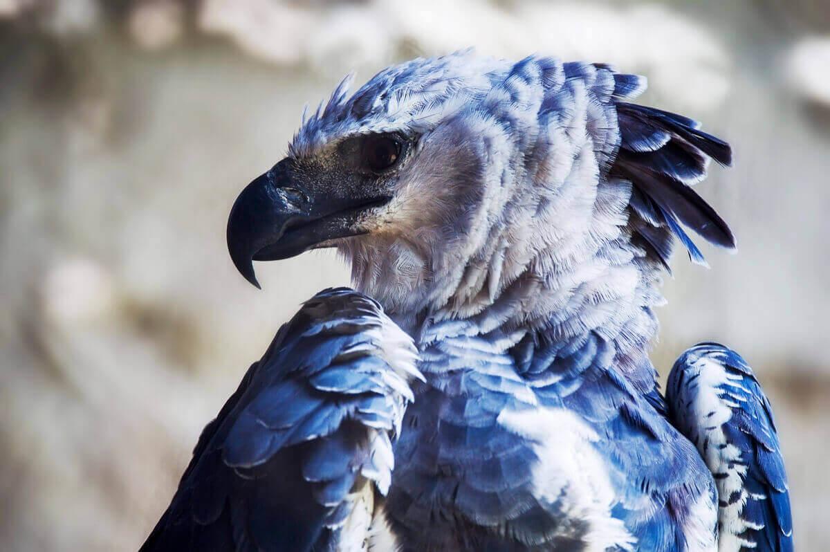 Profilbild på en harpyja