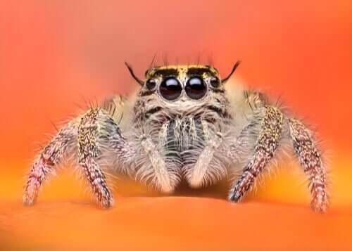 De gulligaste spindlarna i djurriket