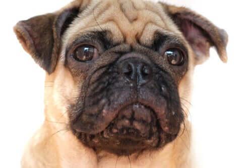 Acne hos hundar: kännetecken och behandling