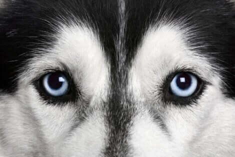 Närbild på Husky hund.