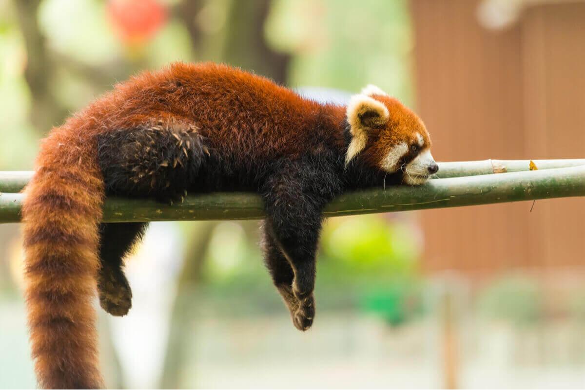 En röd panda som sover