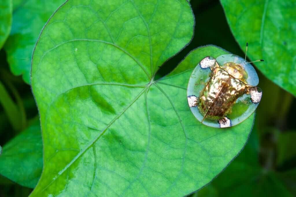 Upptäck skalbaggsarten Charidotella sexpunctata