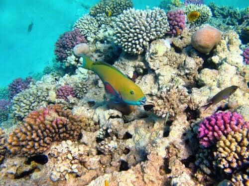 Symbiosen mellan korallrev och mikroskopiska alger