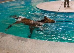 Sjukdomarna och skadorna hos tävlingshästar: häst simmar i pool