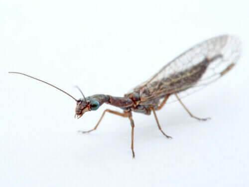 Kontrollinsekter som används för biologisk skadedjursbekämpning