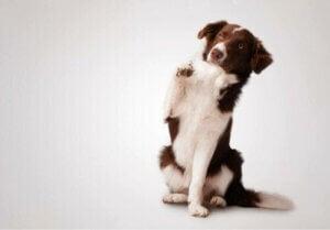 vänster- eller högerhänta: hund håller upp tass