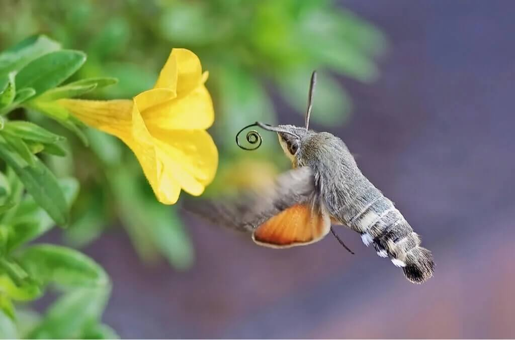 Dagsvärmarens roll som pollinatör