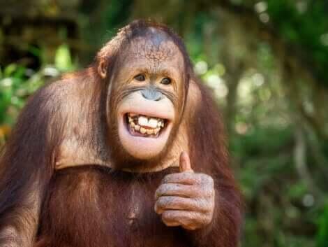 Har djur humor? En apa gör tummen upp.