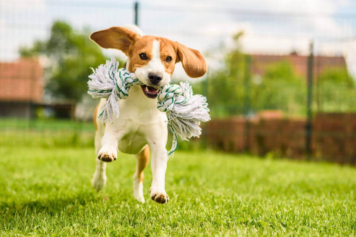 Beagle springer med en leksak i munnen.