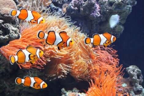Clownfisk i ett saltvattenakvarium.
