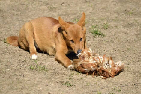 Vilda hunddjur: En dingo äter sitt byte.