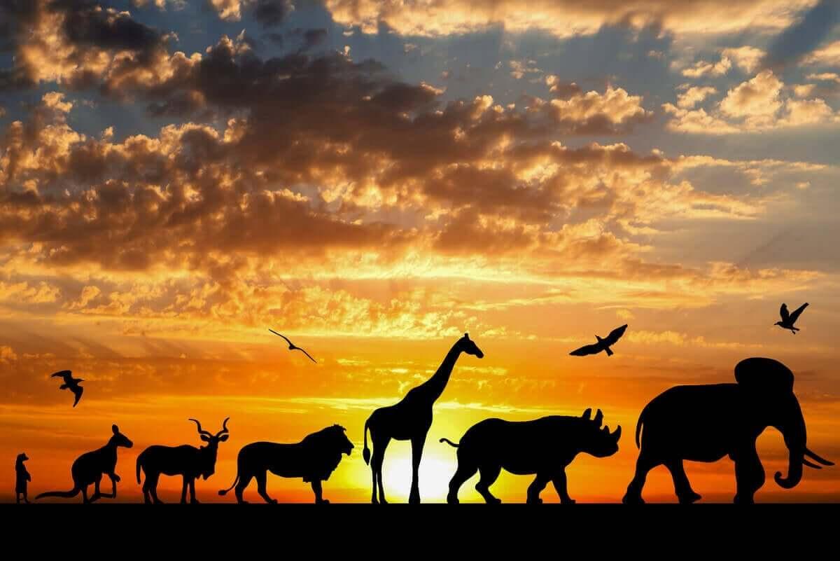 Siluett av Afrikanska djur i solnedgång på savannen.