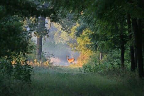 Ekologisk succession: En hjort i skogen.