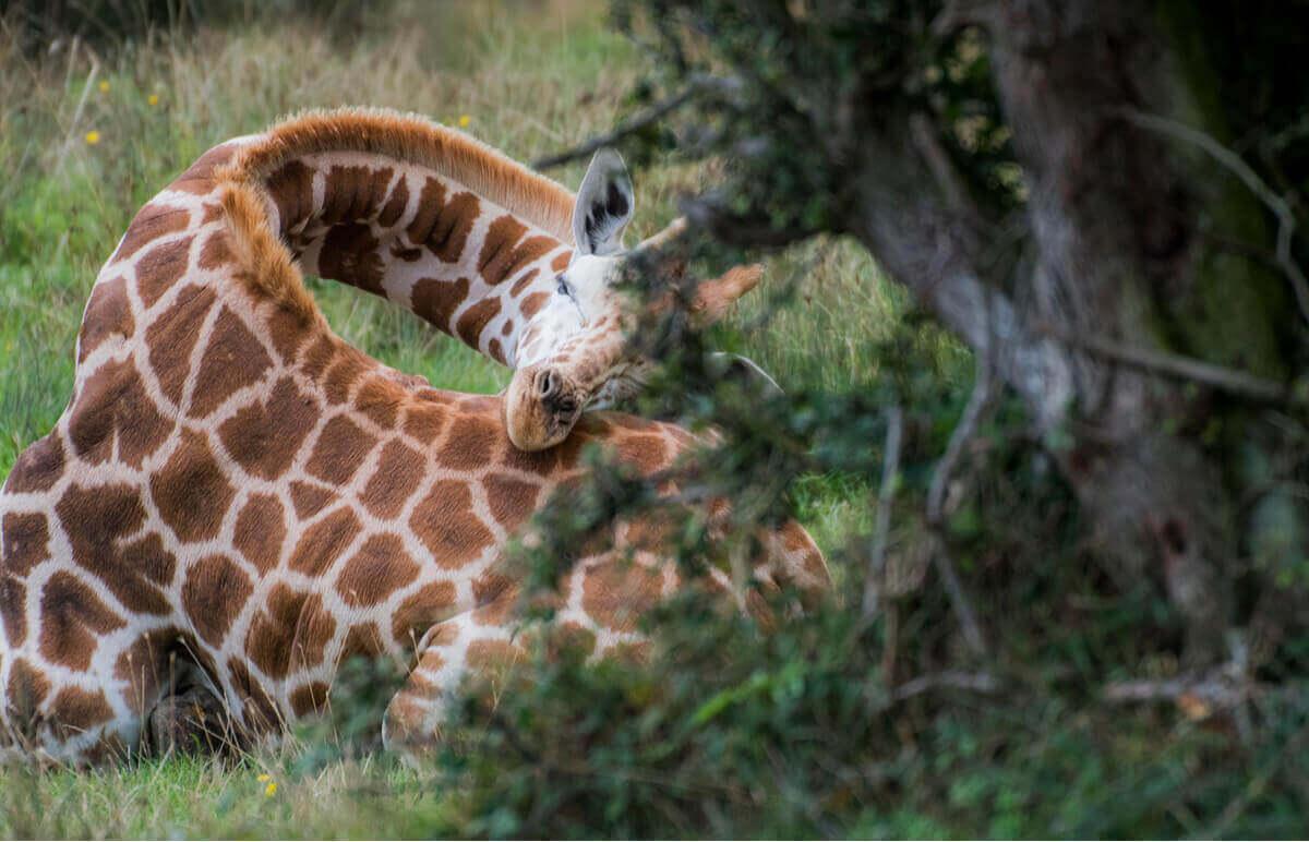 En giraff vilar på marken.