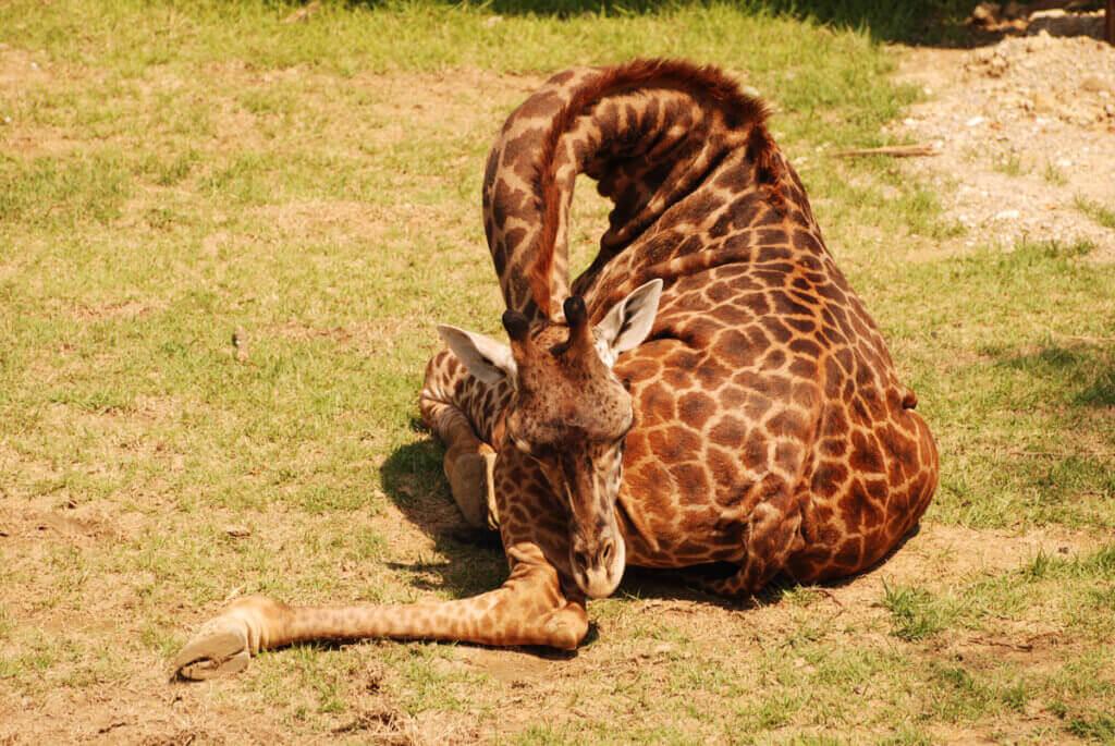 Giraffens sovvanor: varför sover de så pass lite?