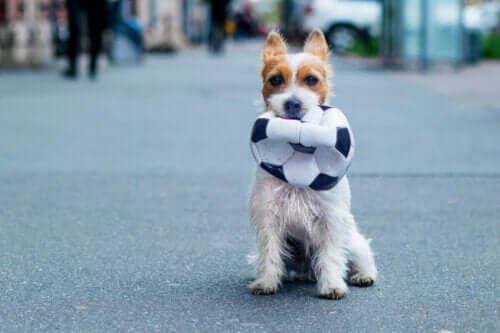 Hund med en punkterad boll i munnen.