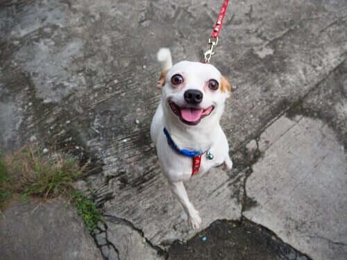 Varför tappar hundar intresset för sina ägare under promenader?