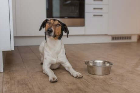 Adoptera en hund: En hund som väntar på mat.