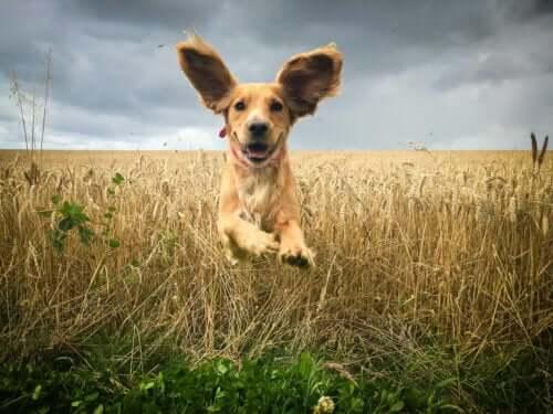 Hund springer genom ett fält.