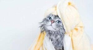 Katt efter bad