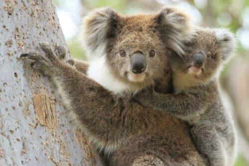 Koala i träd med bebis på ryggen.