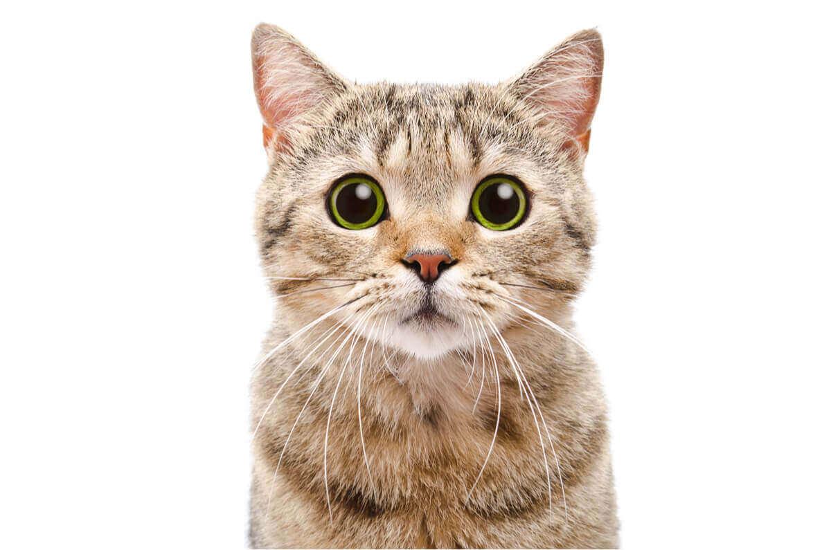 Närbild på en katt med gröna ögon.