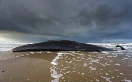 En av många strandade valar.
