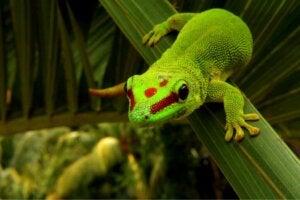 Daggeckon: Skötsel och egenskaper