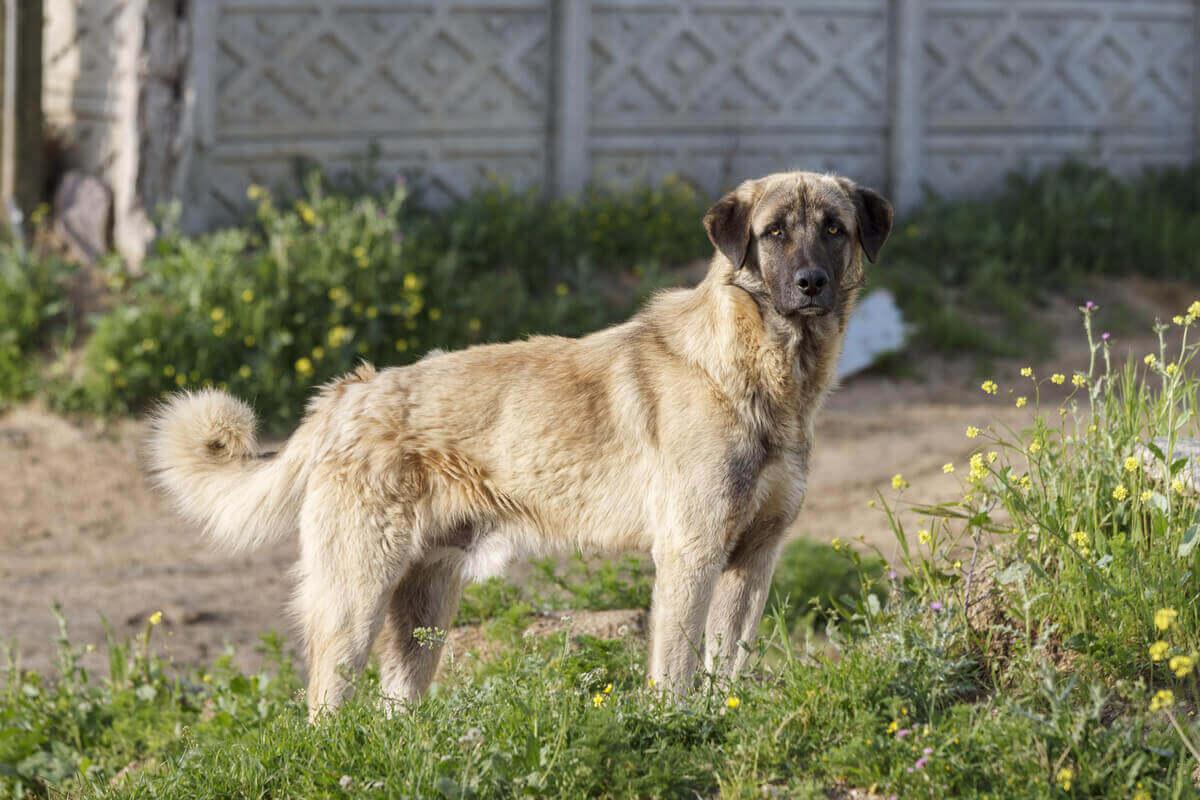 Anatolisk herdehund är på listan över bra vakthundar.