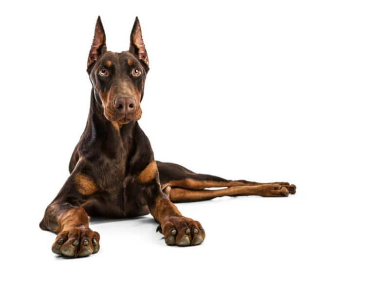Bra vakthundar: sju hundraser som toppar listan