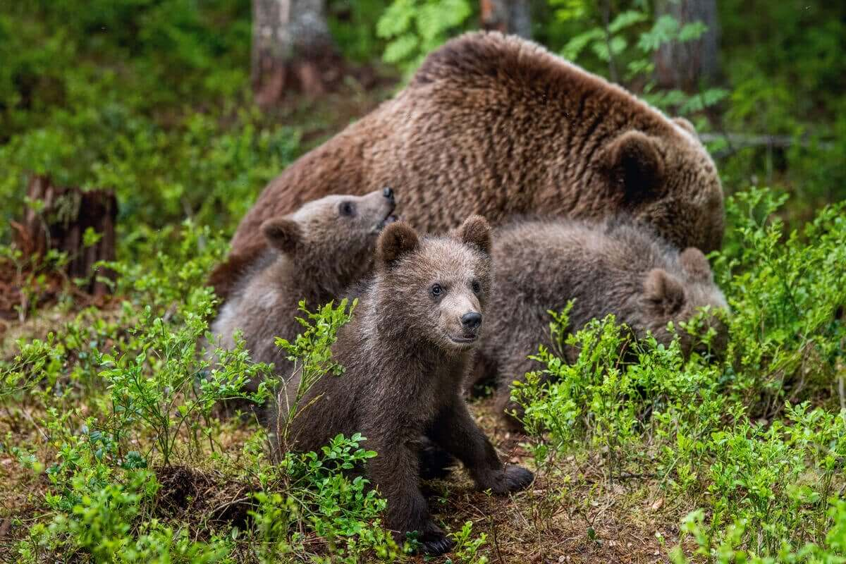 En björn tar hand om sina ungar i skogen.