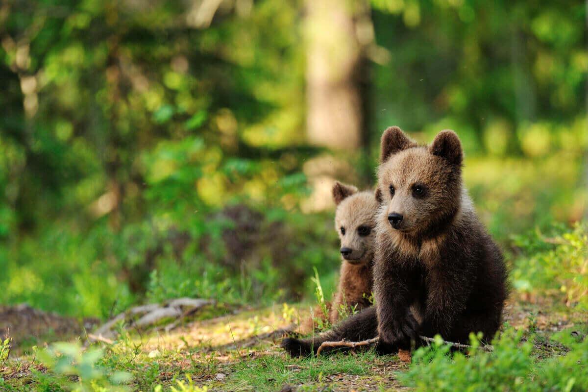 Två björnungar sitter i skogen.