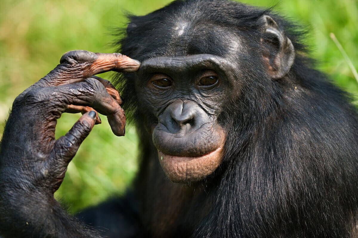 Bonobo ser ut att vara i djup tanke.