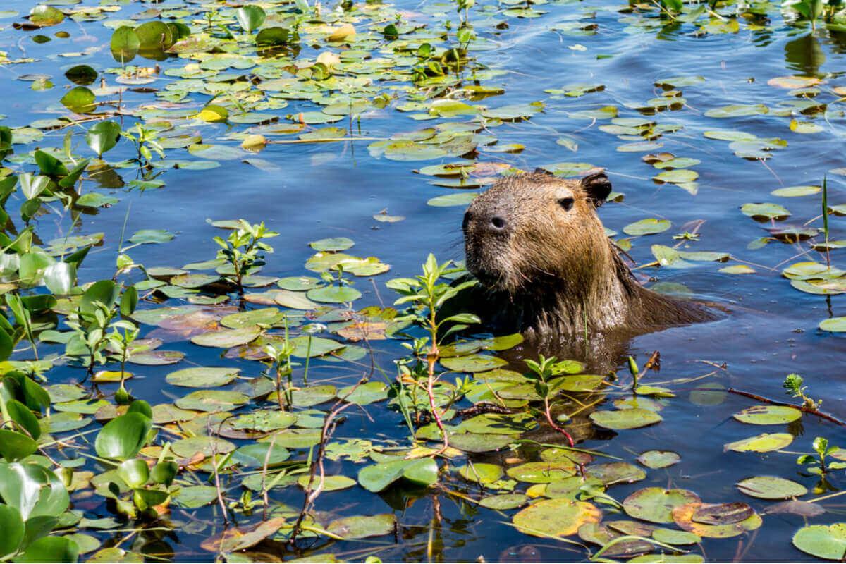 Capybara sticker upp sitt huvud ur vattnet.