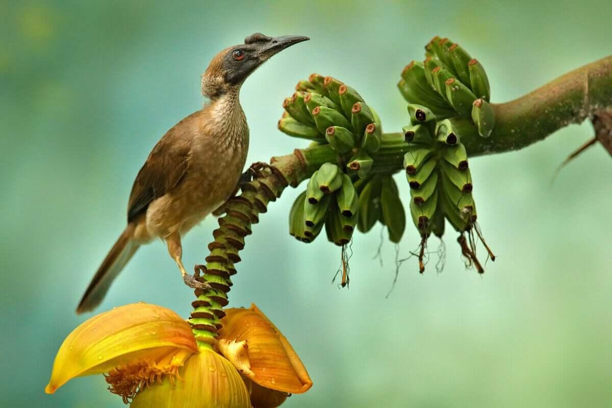 Hjälmmunkskata sitter på en bananplanta.