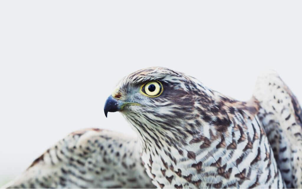 Fakta om sparvhöken: en trogen rovfågel