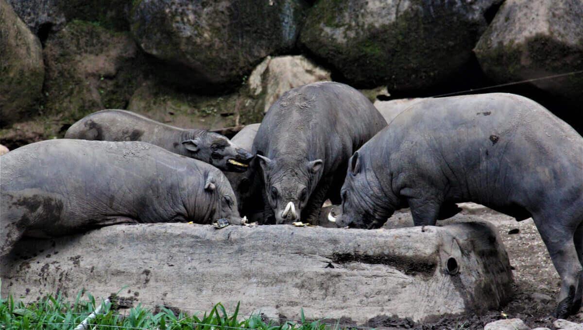 En flock buruhjortsvin äter tillsammans.