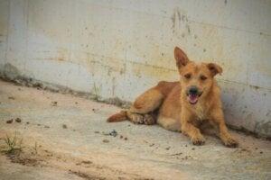 Gatuhund som vilar efter explosionen i Beirut