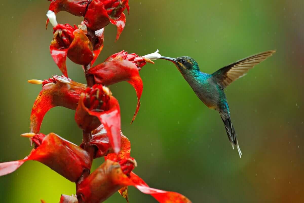 Grön eremit är en av arterna av nektarsugande fåglar.