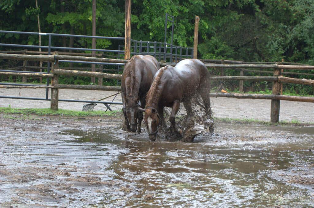 Hästar räddade från översvämning överraskade med föl