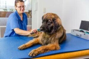 Laserbehandling på hund