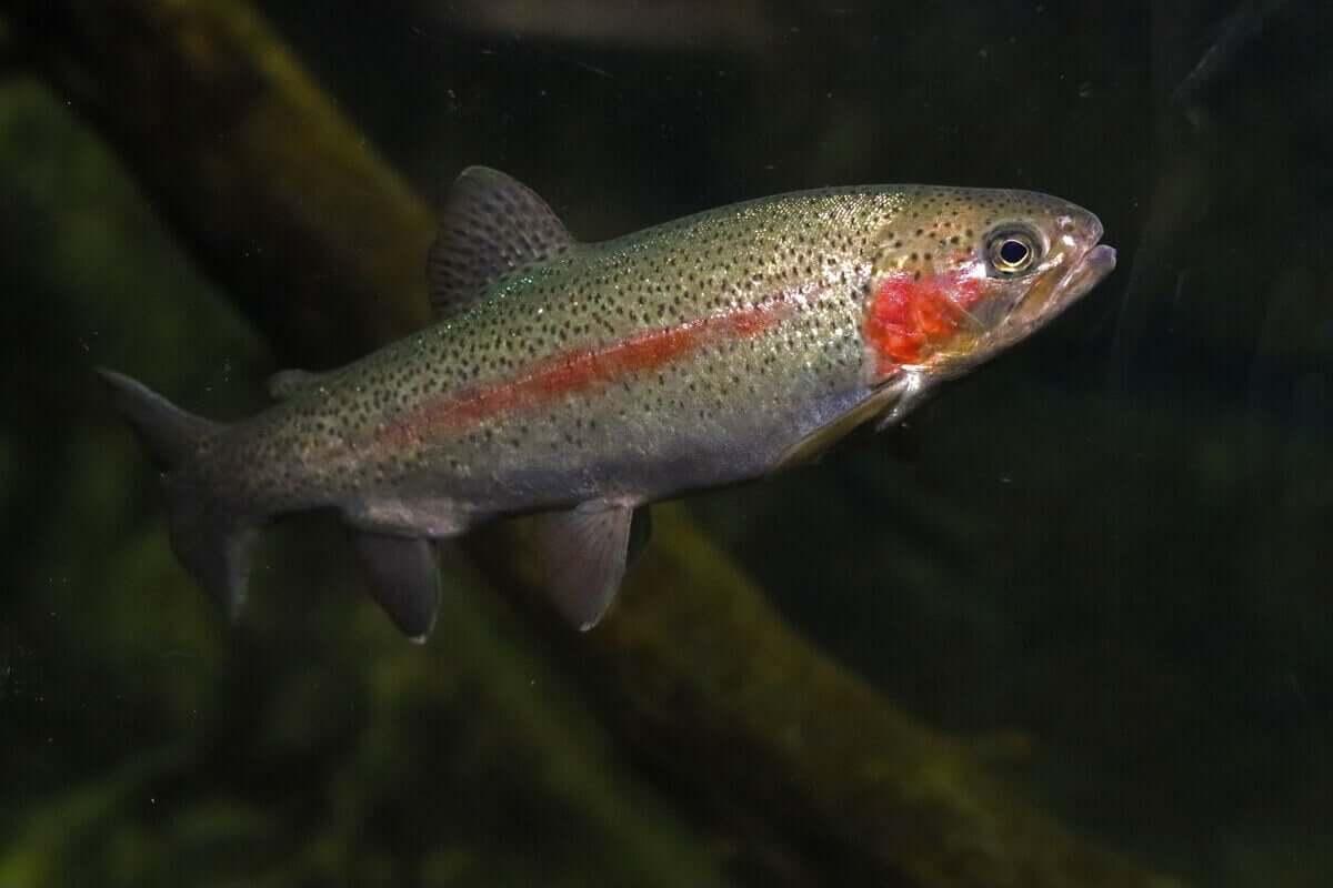 Regnbågslax simmar i vattnet.