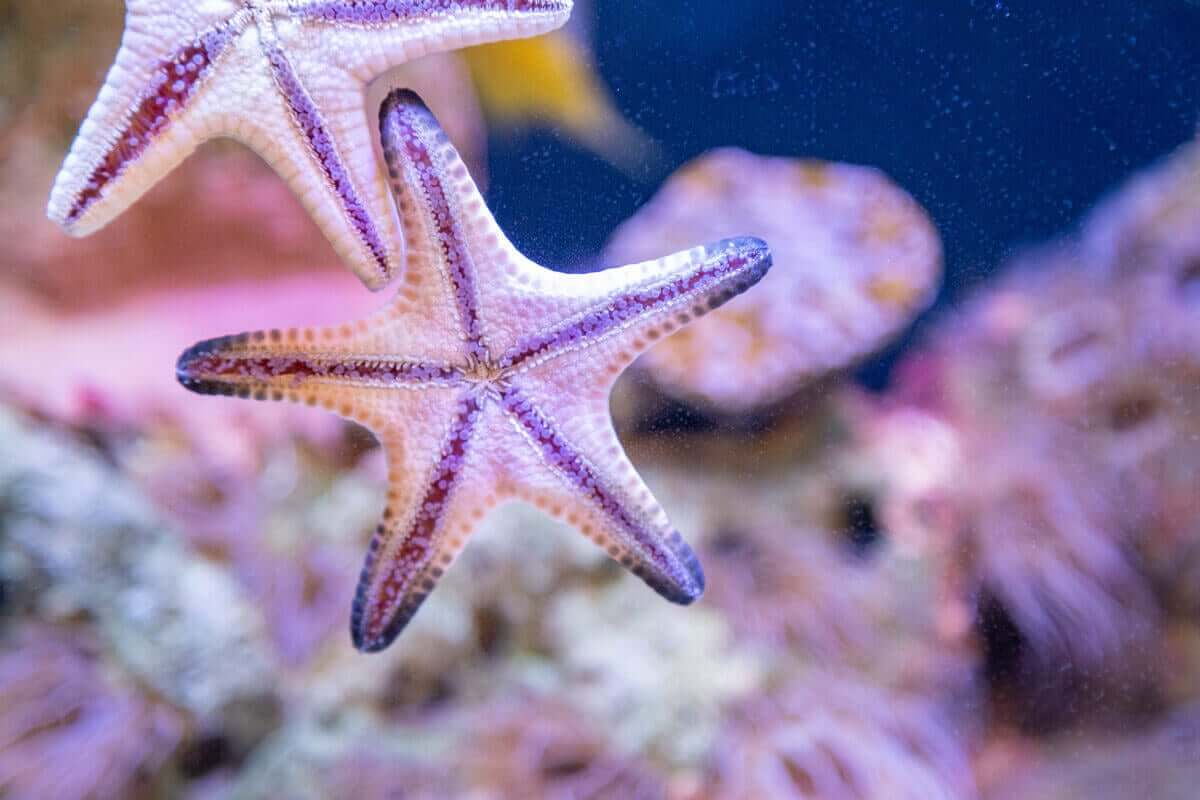 Vita sjöstjärnor på akvariumglas.