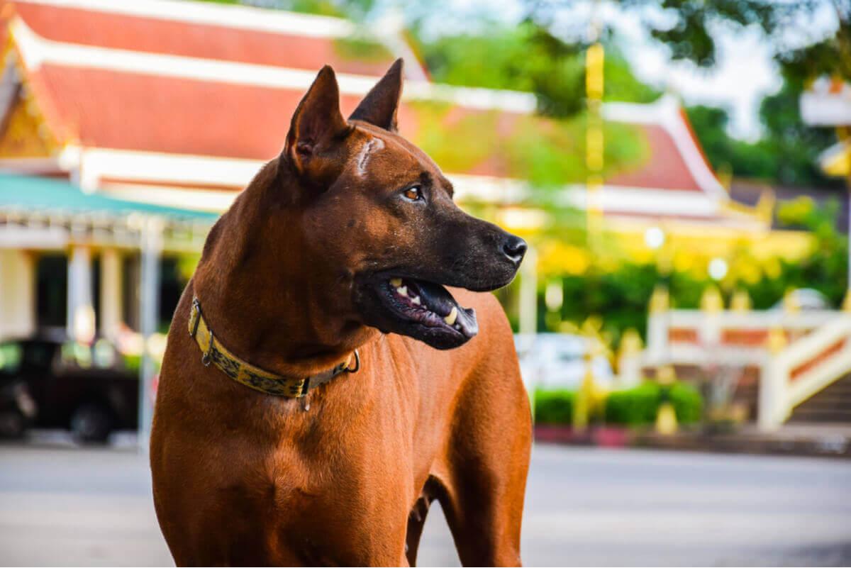Thai ridgeback dog är på listan över bra vakthundar.