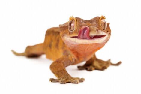 En ögonfransgecko slickar sig om munnen.