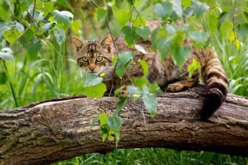 Bevarandeåtgärder för den skotska vildkatten
