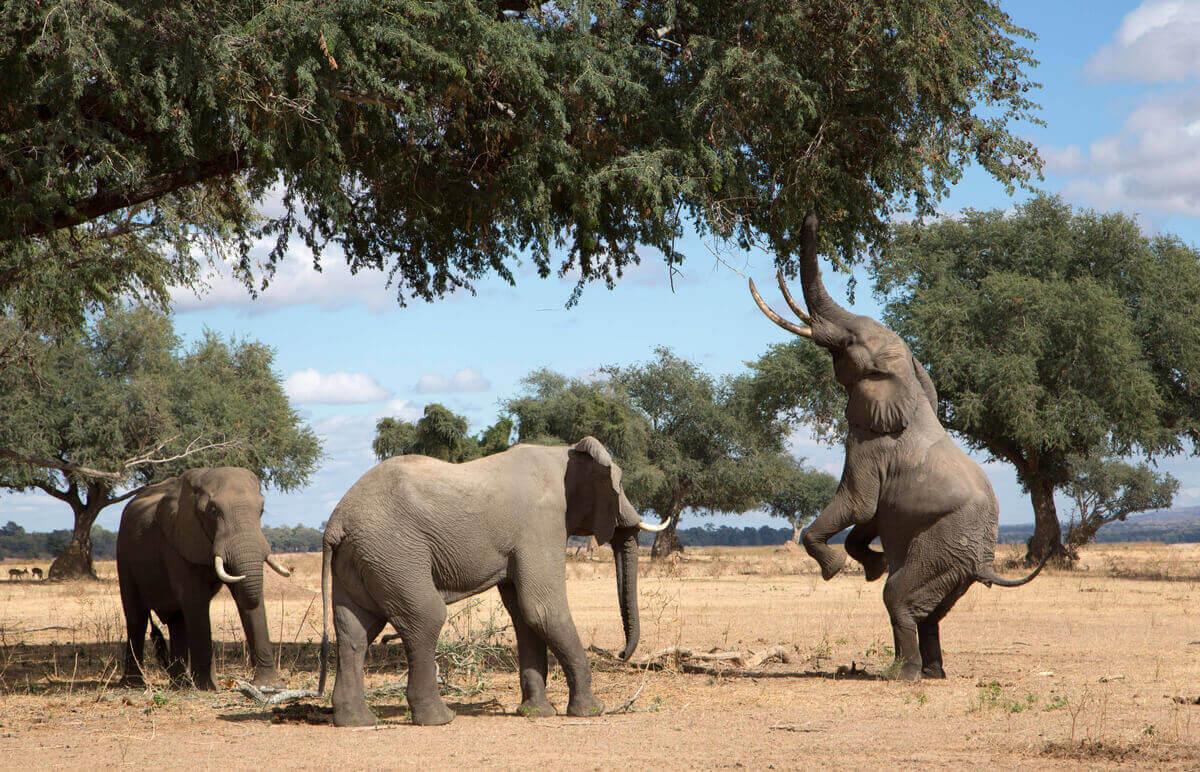Elefant äter från ett träd.