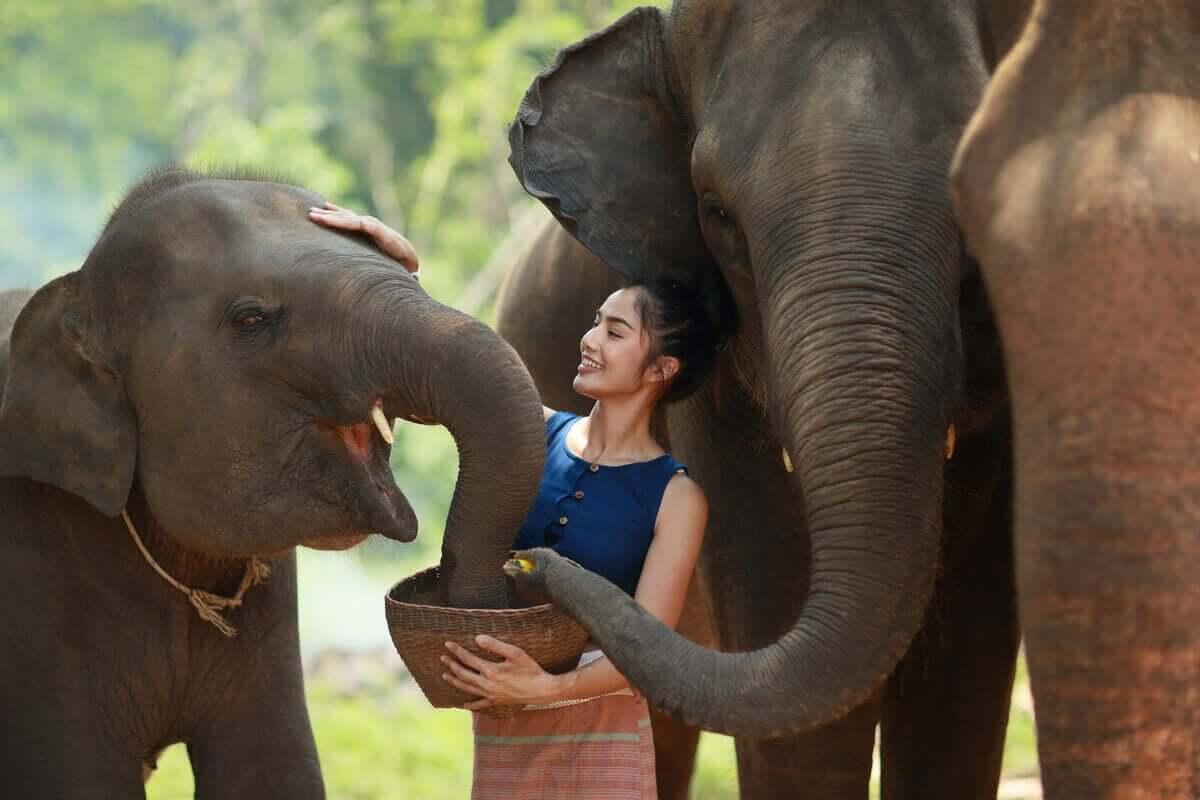 Kvinna matar elefanter ur en skål.