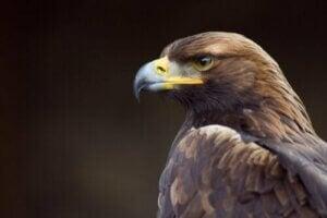 Dagaktiva rovfåglar: Profil av kungsörn