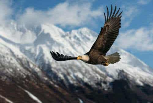 Dagaktiva rovfåglar, bergstopparnas härskare